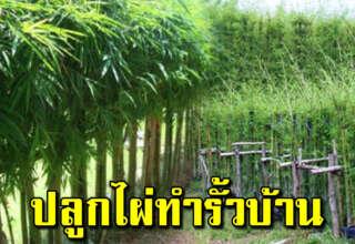 ปลูกไม้ไผ่ทำรั้วบ้าน สวยงามแข็งแรง ใช้ประโยชน์ได้หลายอย่าง