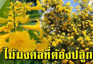 ต้นทองอุไร ควรปลูกไว้หน้าบ้าน ปลูกให้ถูกวันเงินทองเต็มบ้าน